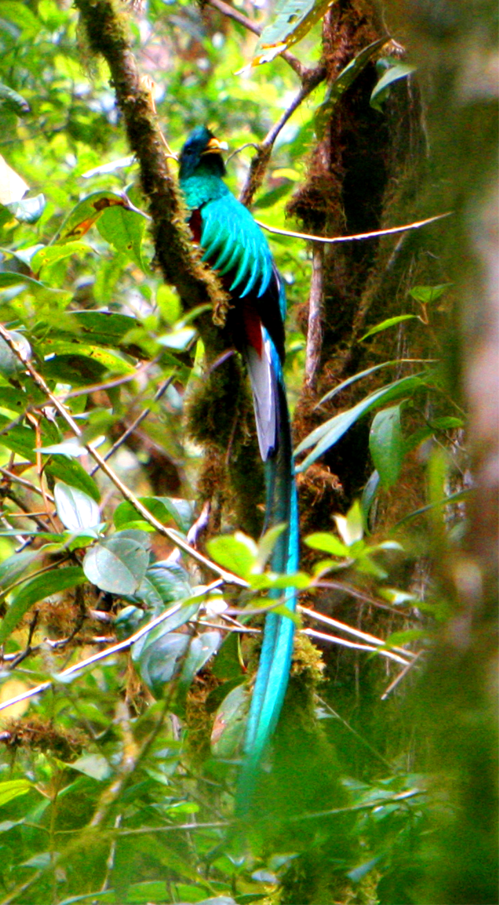 コスタリカの山奥で『火の鳥』~ケツァール~を撮影